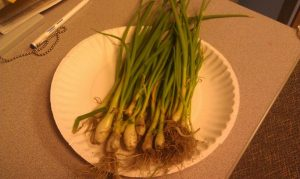 Our Harvested Green Onions!